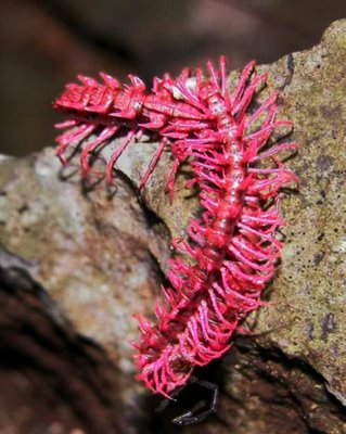 Shocking Pink Dragon Centipede