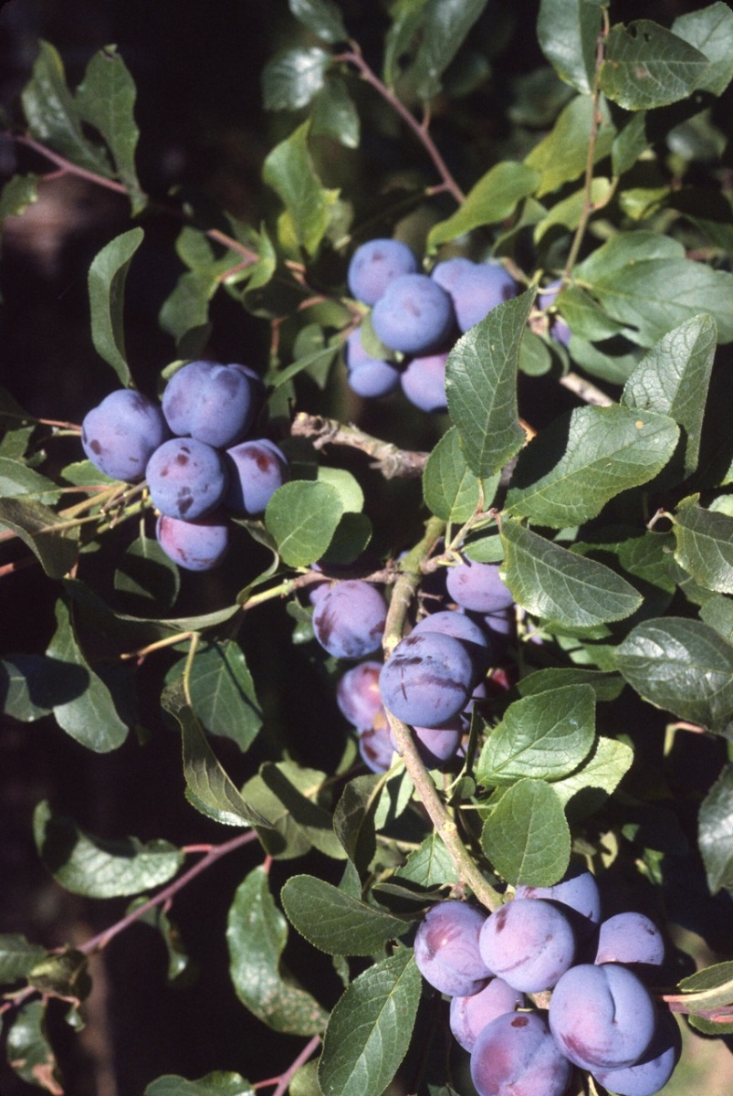 English damsons, for annual jam making.