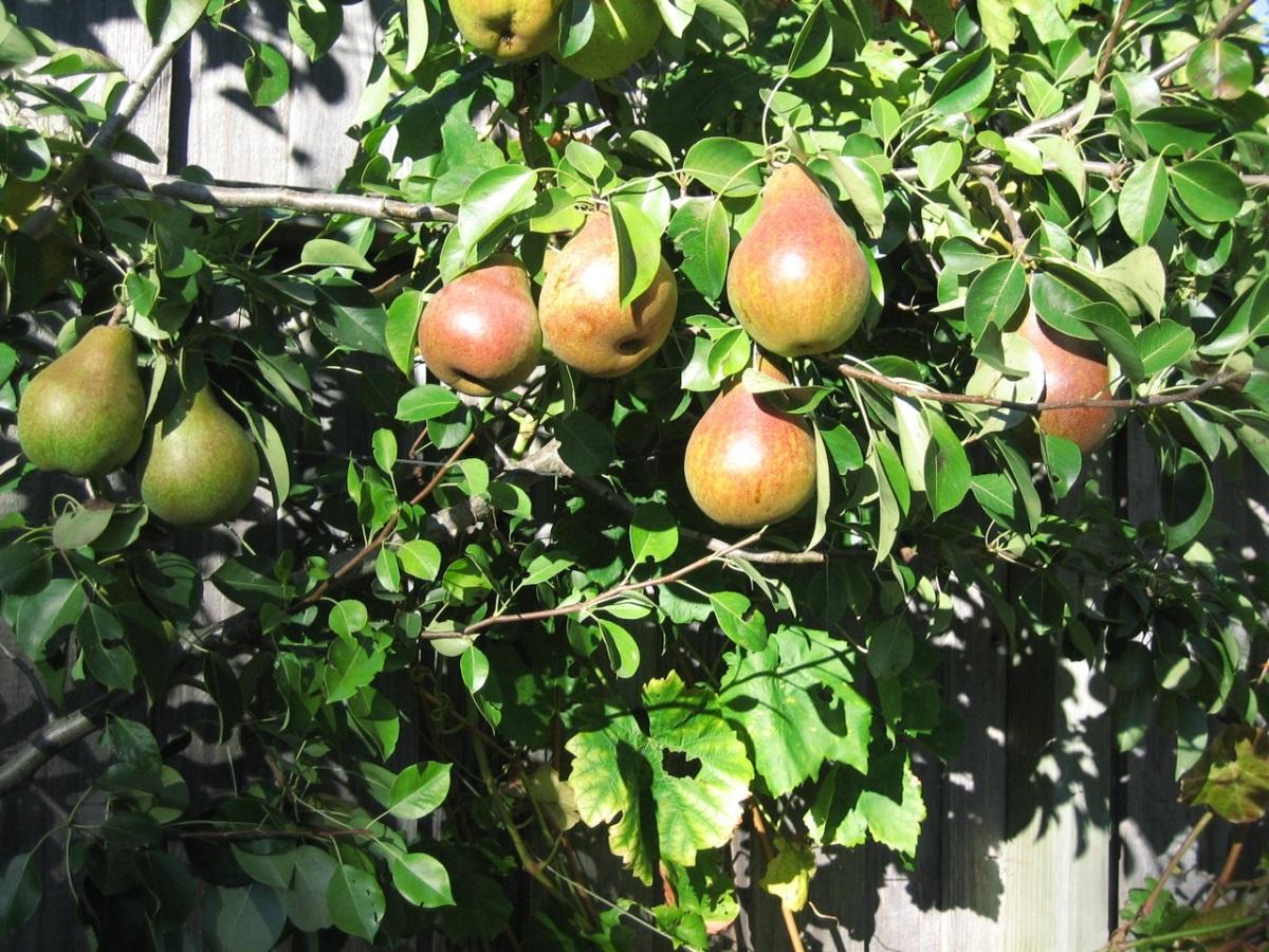 Comice pears.