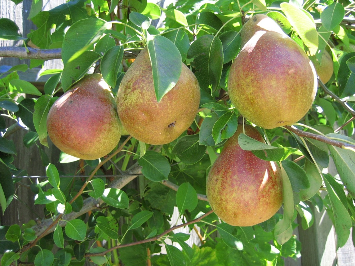 more pears, we have about 4 varieties on two trees.