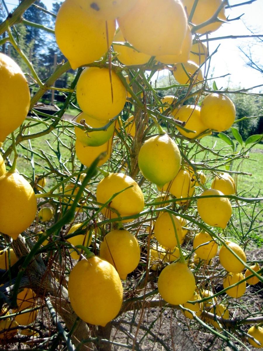 Mayer lemons, a newish variety from China. Wonderful for marmalade.