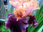 An iris.  I became obsessive about irises at one point and we now have about 150 varieties.