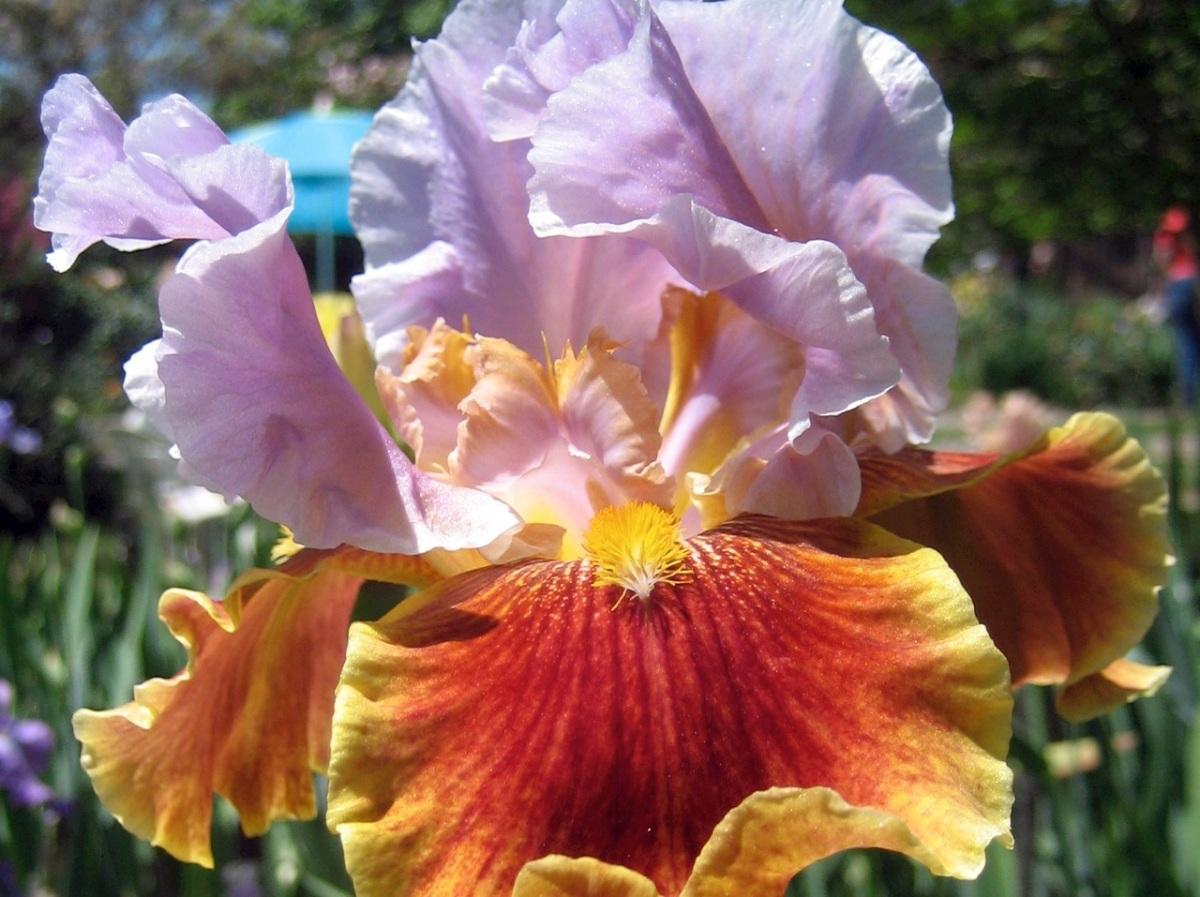Another Iris,