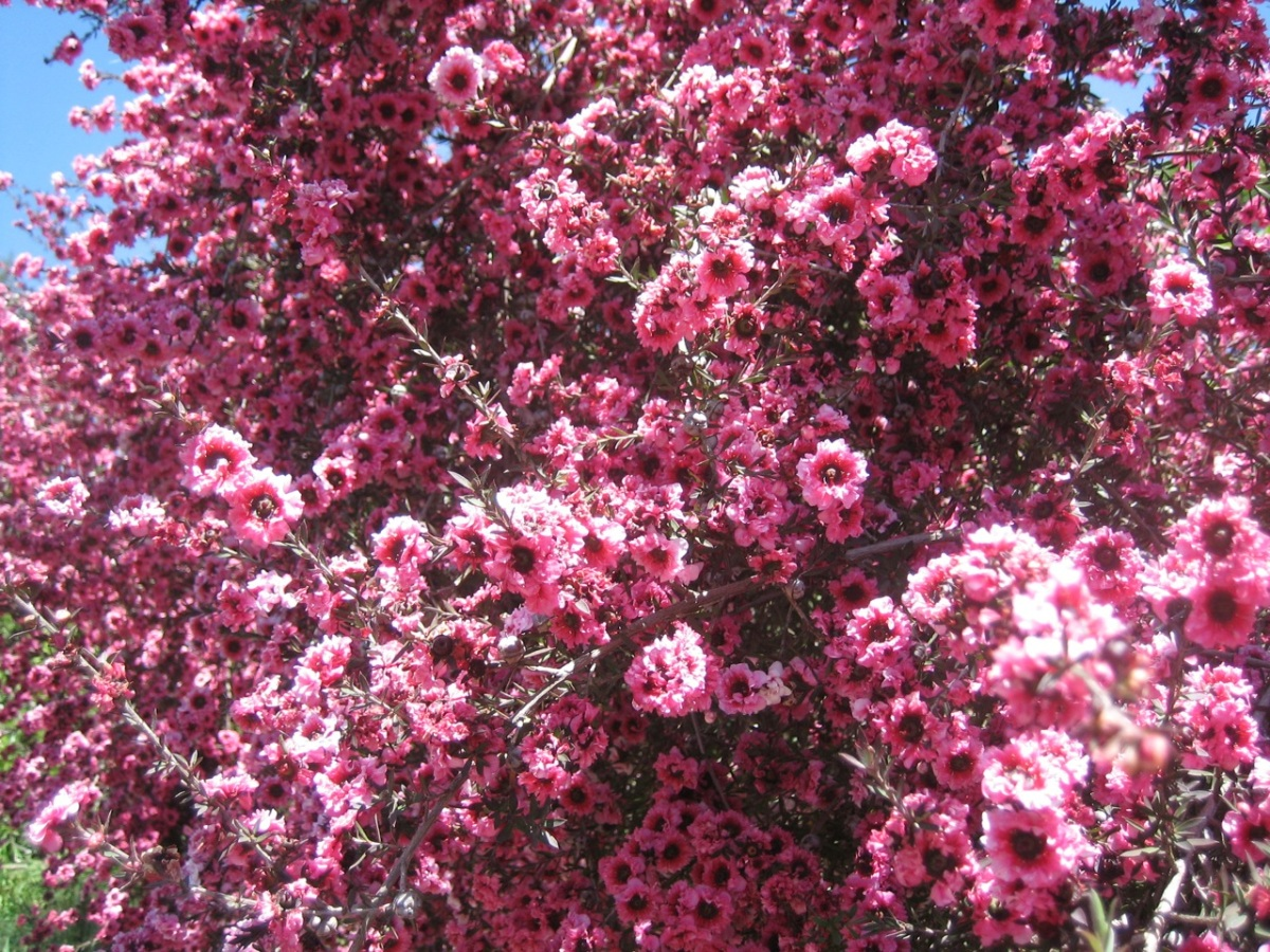 Don't know the name of this tree, it's about 15 ft tall and is covered with these flowers every spring,