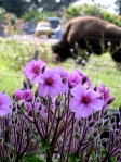 Geranium Maderense. note the Bison behind.