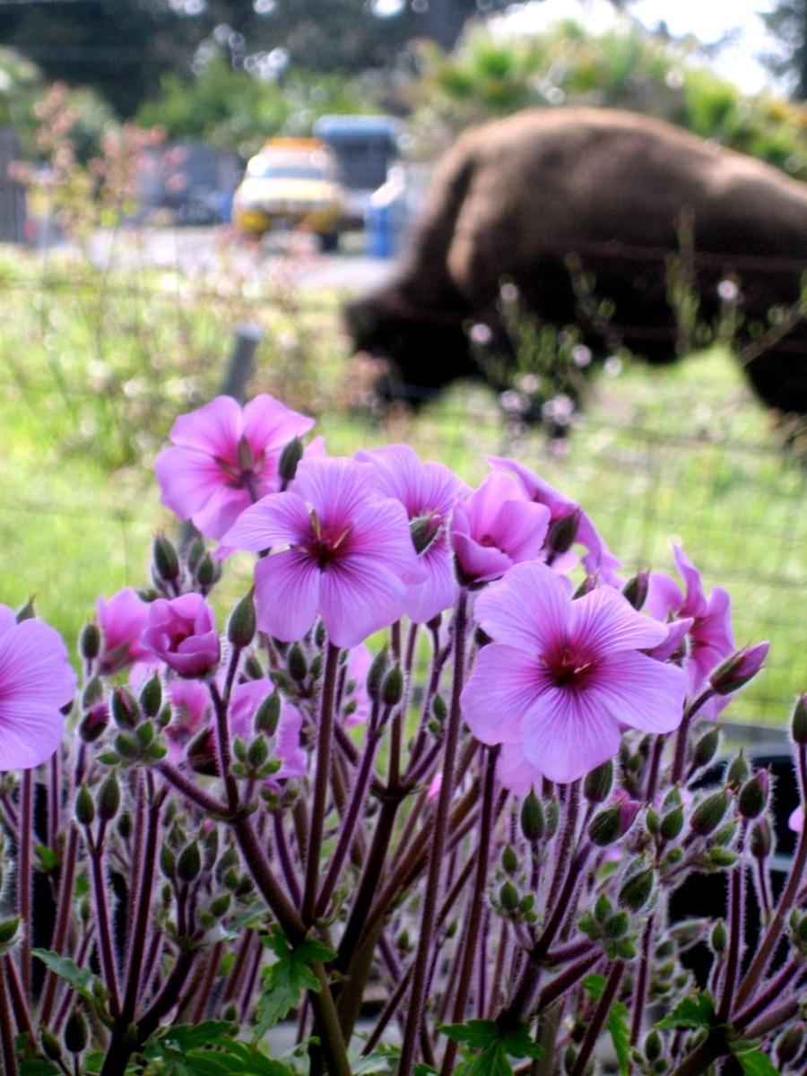 Geranium Maderense. note the Bison behind.