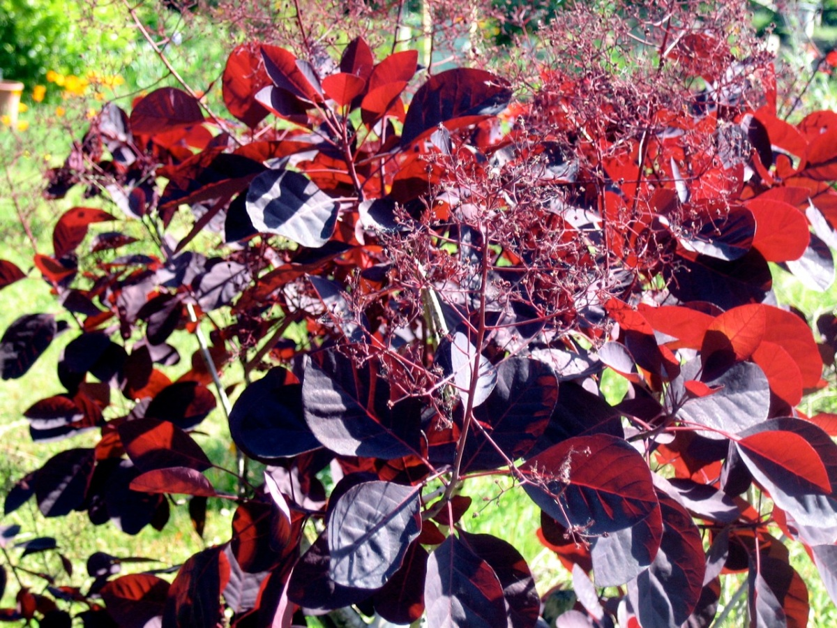 A smoke bush. You should see the one the queen's got at Sandringham!