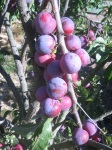 Pluots - a cross between a plum and an apricot.