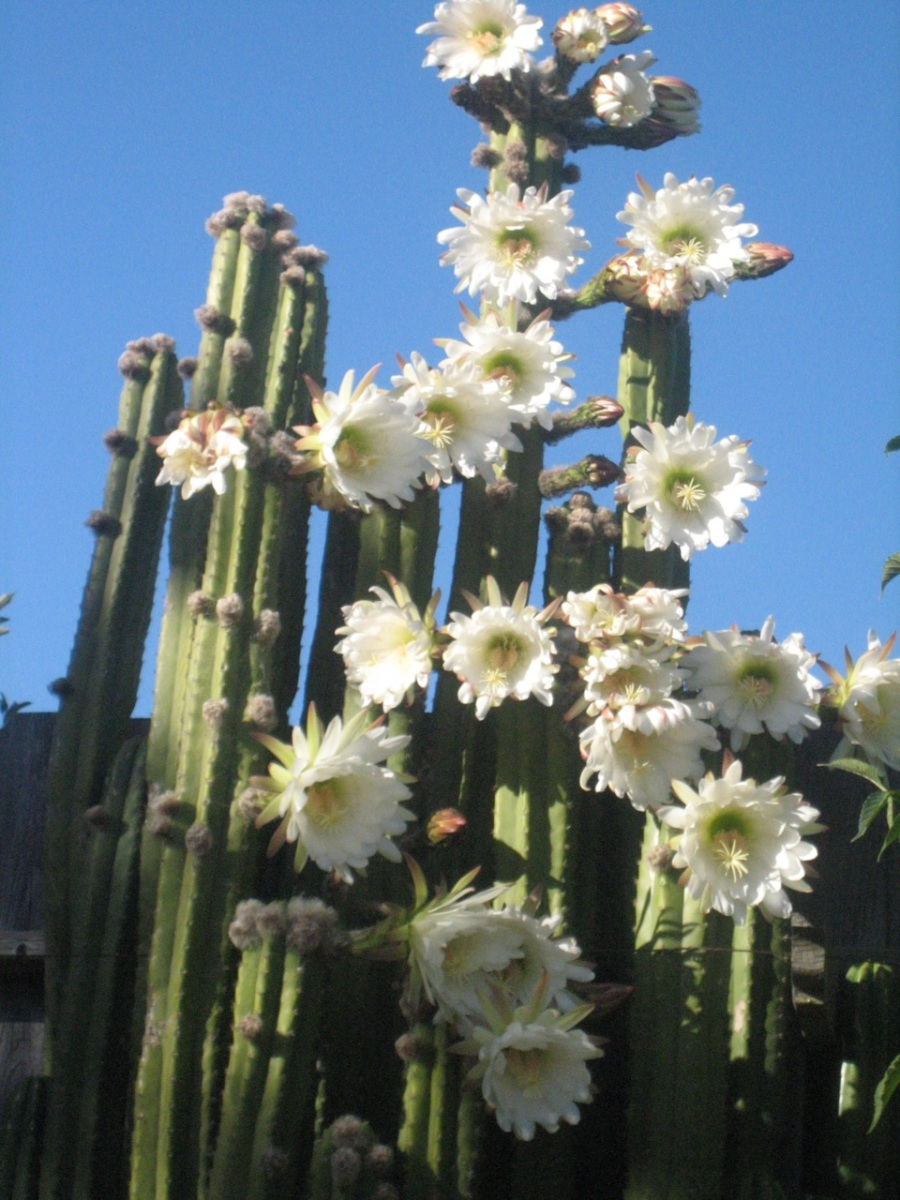 A variety of flowering Peruvian cactus, they're about 14ft tall.
