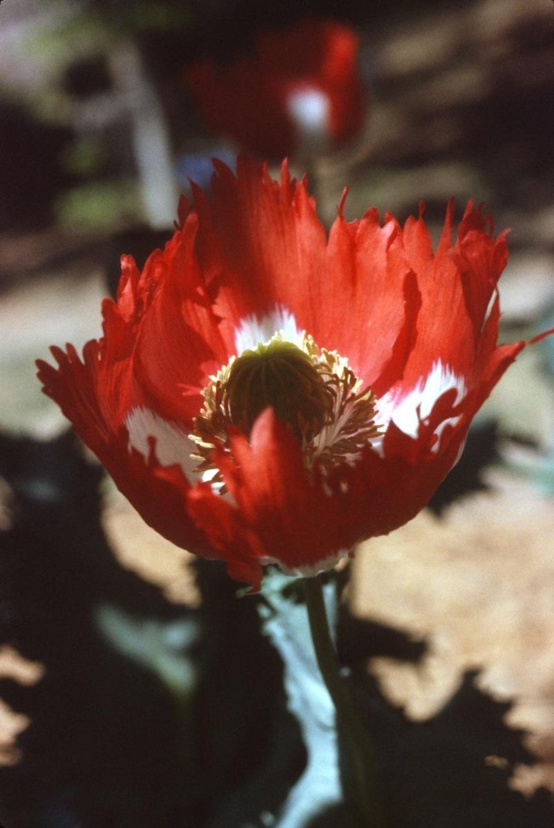 A frizzy poppy