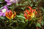 A South African flower named for Rothschild