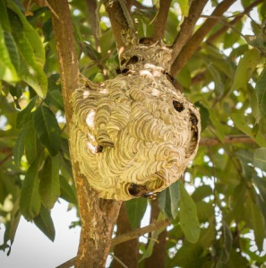 42499157 - wasps nest hanging in a tree