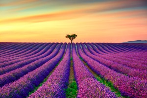 51835972 - lavender flowers blooming field, lonely trees uphill on sunset. valensole, provence, france, europe.