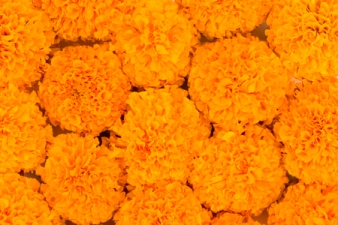 67463659 - marigold flowers filled in as background